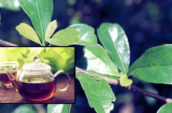 Health-Benefits-of-Tsaang-Gubat-Wild-Tea-that-you-Need-to-Know