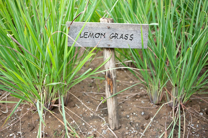 You-Get-These-5-Health-Benefits-When-You-Consume-Lemongrass 3